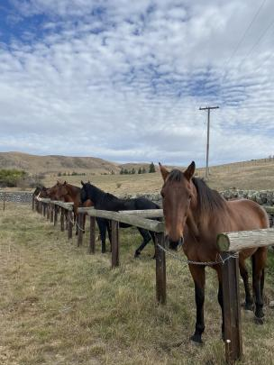 Old school...Horses are still used during Otematata Station's autumn muster.PHOTOS: PHILIPPA CAMERON