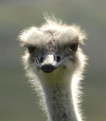 Big Bird the ostrich. Photo by Linda Robertson.