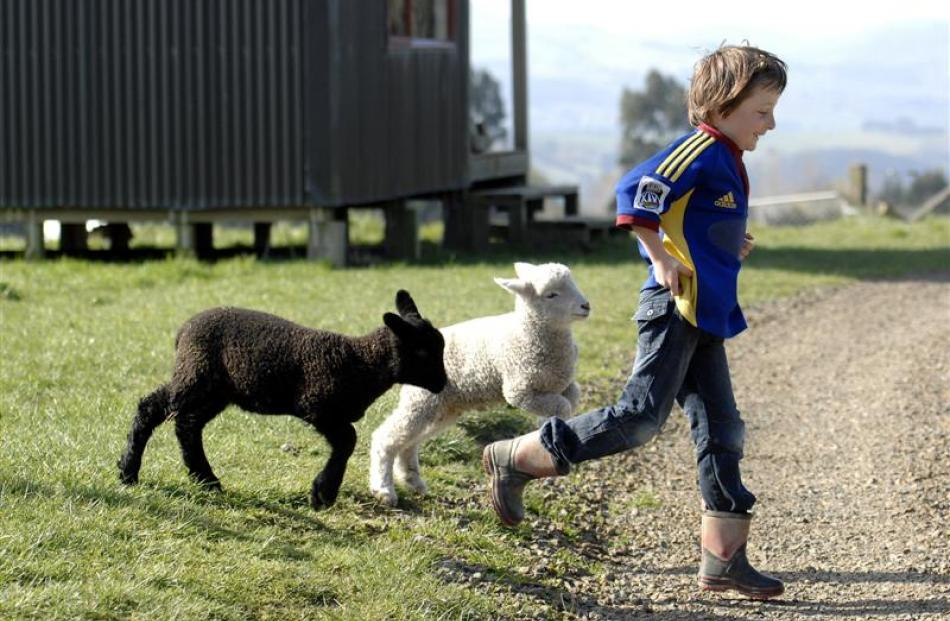 Sandy's son Ben Howard (8) plays with pet lambs Sooty and Snowy. Photo by Linda Robertson.