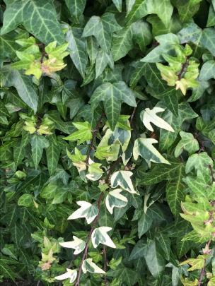Handling ivy can cause a rash.