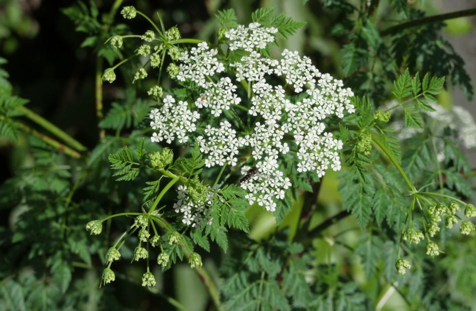 Although it looks like parsley, extremely toxic hemlock has nasty smell that sets it apart.