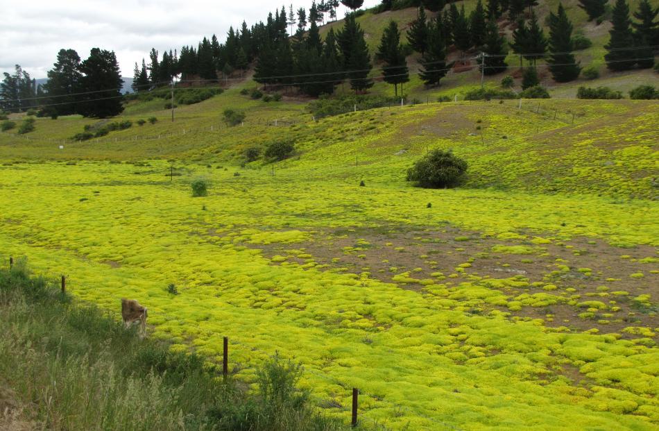 Stonecrop covers farmland at Lowburn. Photos by Sarah Marquet.