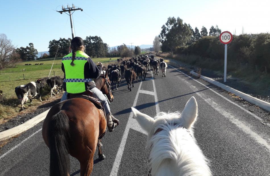 Easy does it...Nastassja Tairua (left) guides the main block of 500 cows down Tuapeka Mouth Rd...