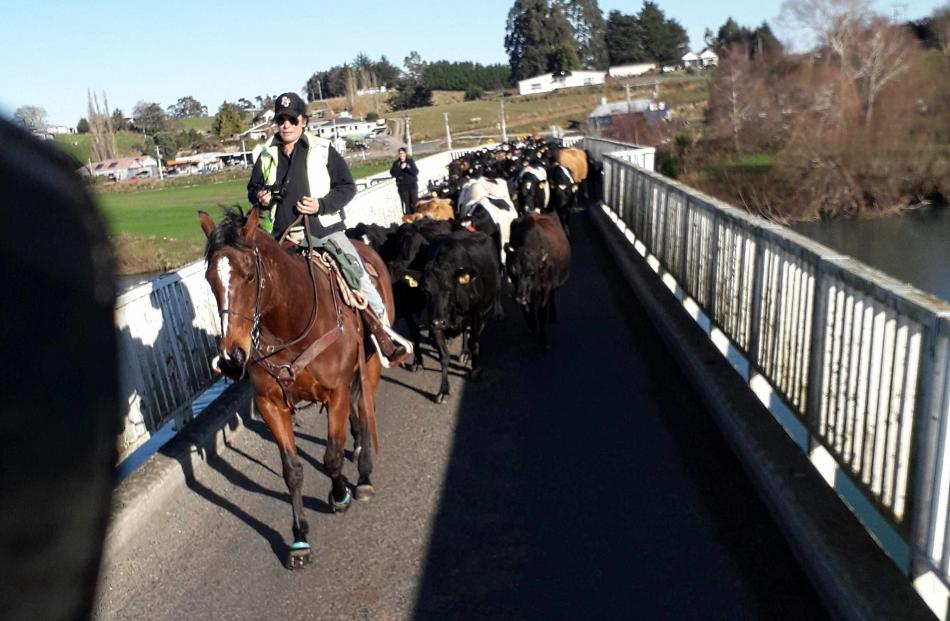 Over you go ...Nastassja Tairua, leads some of the 500 cows across the Clydevale bridge.