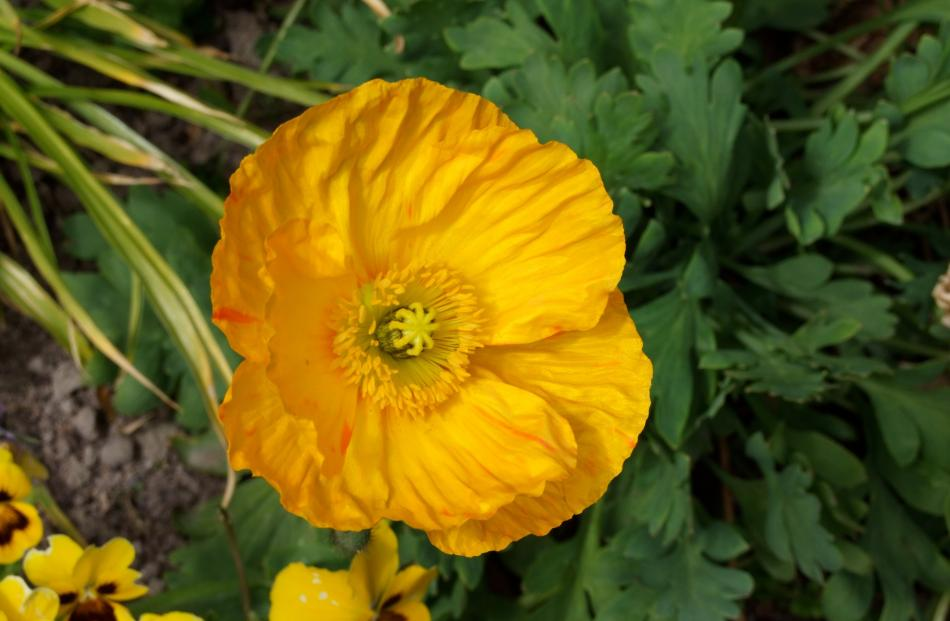 Widely grown, Iceland poppies are more poisonous than opium poppies.