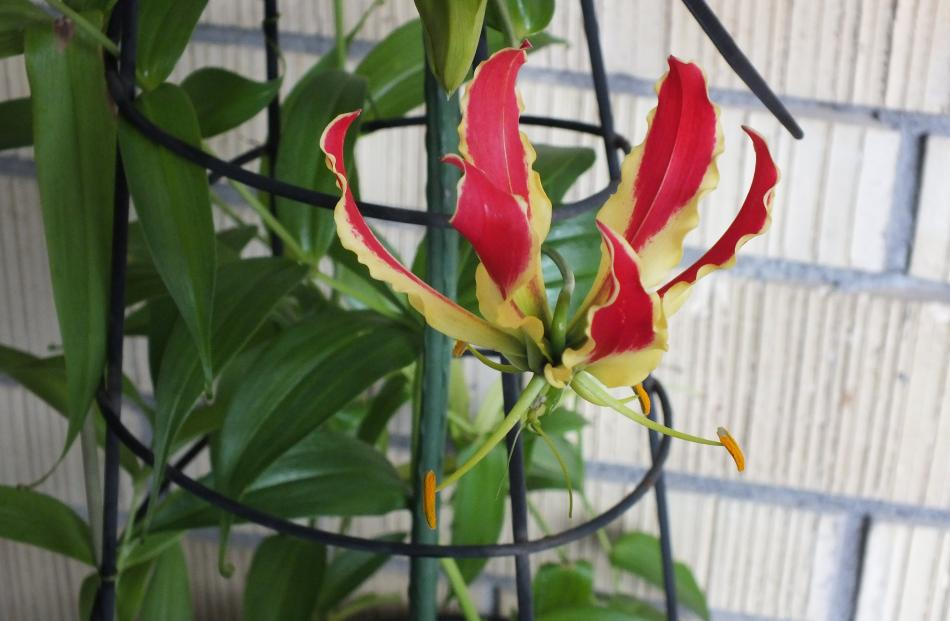 All parts of gloriosa lilies are dangerous, especially the tuberous roots. PHOTOS: GILLIAN VINE
