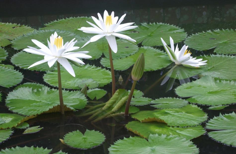 Asian water lilies raise their flowers high above the water.