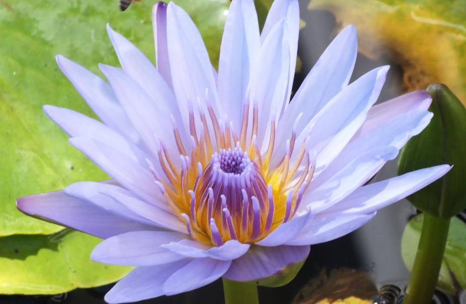 Asian blue water lily (Nymphaea nouchali) is the national flower of Sri Lanka and Bangladesh.