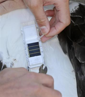 New solar-powered GPS tags are attached to the albatross. Photos by Gerard O'Brien.