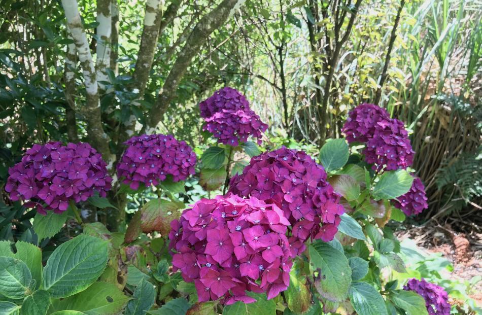 Hydrangeas grown on the West Coast have intense colour.