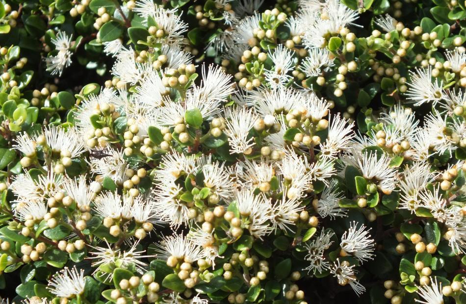 The NZ white rata vine (Metrosideros diffusa) thrives in the Ross garden.