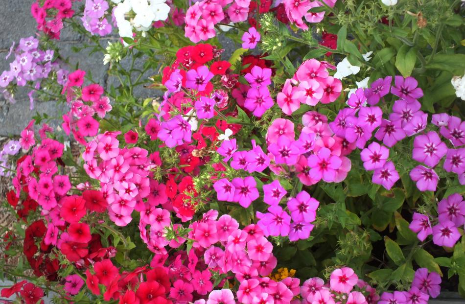 Annual Phlox drummondii makes a bright summer display for a sunny spot. Photos: Gillian Vine