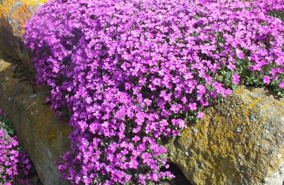 Mossy or mountain phlox (P. subulata) is a fast-growing plant for rockeries or as a groundcover.