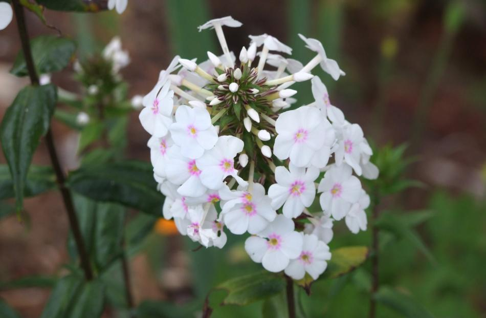Omega is a form of North American meadow phlox (P. maculata) and is said to be resistant to...