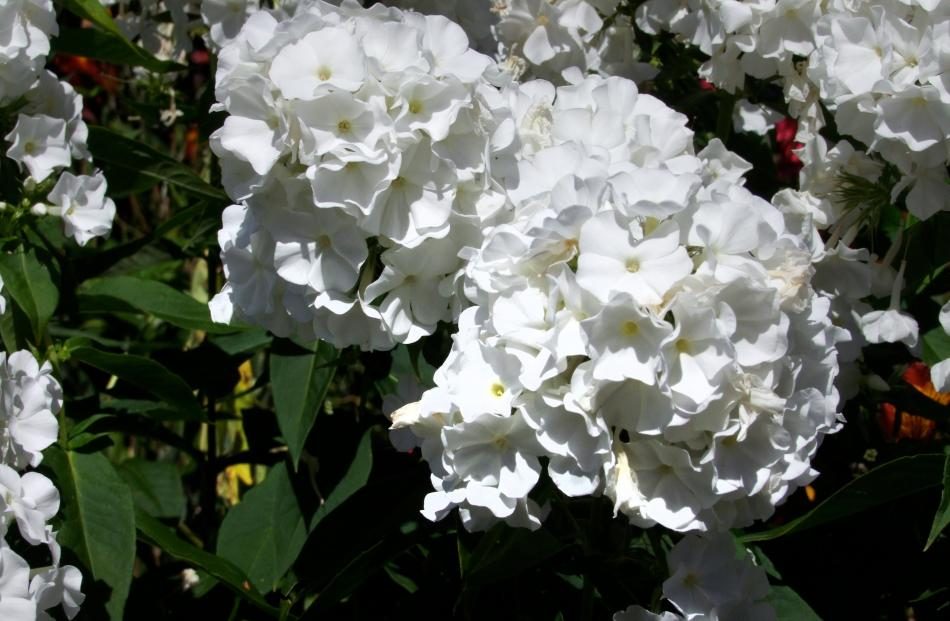 Snowman is one of the best white phloxes available.