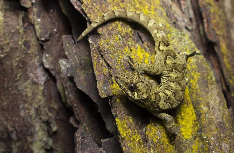 Overall winner (animal over-15): Samuel Purdie, Tautuku gecko, (Mokopirirakau, southern forest),...
