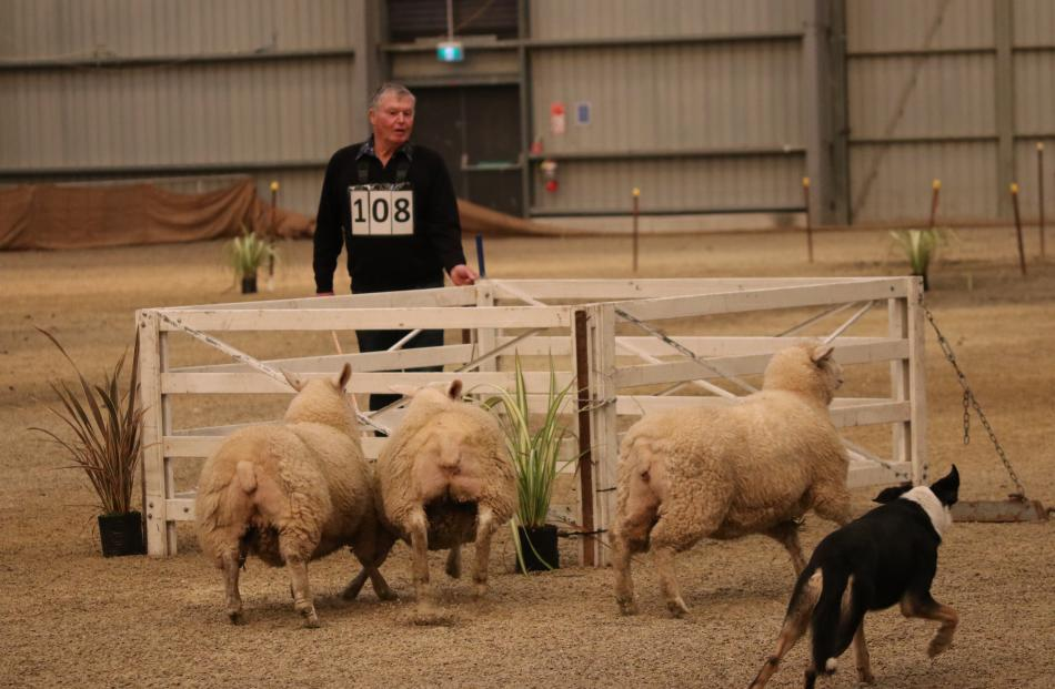 Lex Miller of Moa Flat moves to open the pen gate while dog Laddie moves quickly to cut off one...
