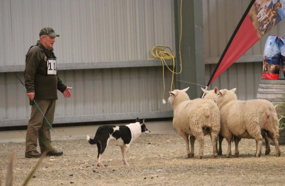Peter Erb of Northhope and dog Splash quietly wait for the sheep to turn and see the gap between...