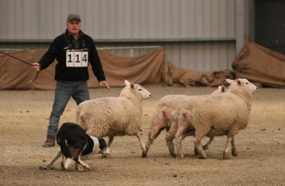 Trevor Roughan of Riversdale moves his dog, Sky, to try to cut the sheep off as they make a bid...