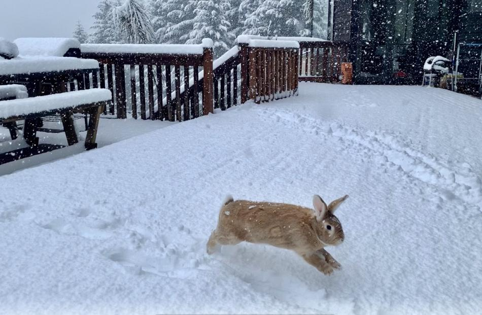 Bethany Rogers' pet rabbit Oscar Wilde enjoys the snow in Queenstown this morning. Photo: James...