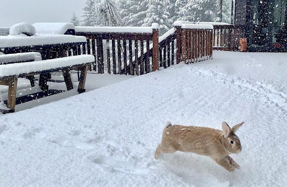 Pet house rabbit Oscar Wilde plays in the snow yesterday. PHOTO: JAMES ALLAN