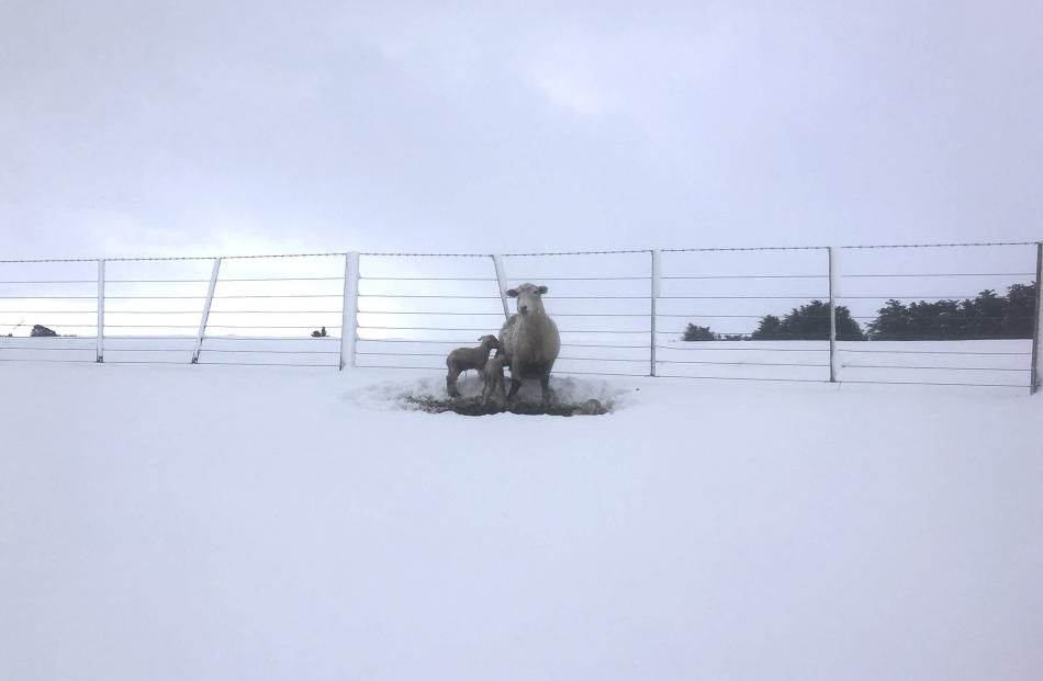 A ewe and her triplets feel the cold at the Paterson family's farm at Waikaka. Photo: Sally Rae