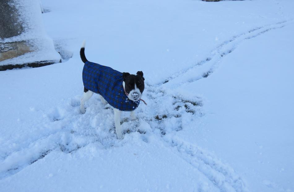 Pepper, of Ettrick, loved the snow at the Ettrick domain and cemetery. PHOTO: YVONNE O'HARA