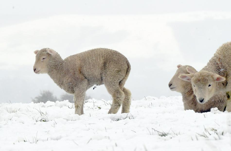 Lambs wait for the cold to pass in the snow near Benhar.