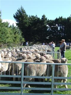 Some of the many merino sheep on display at the Paterson family's Armidale stud.