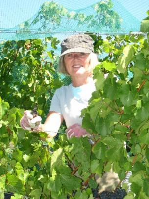 Linda Chew, of Cromwell, absolutely  loves picking grapes.