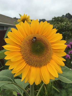 Pollen-producing sunflowers attract bees.