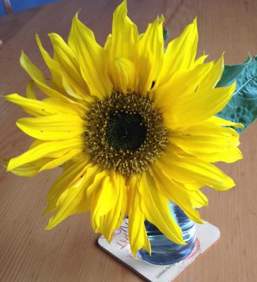 Sunflowers, especially pollen-free types, are popular with florists.