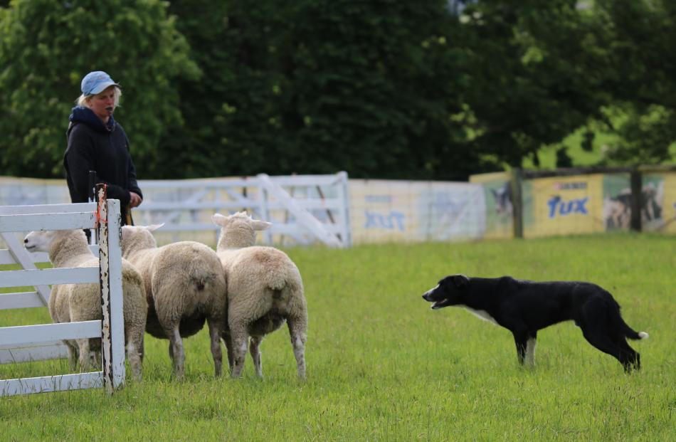 Gore Dog Trial Club member Jade Kelly is poised to shut the gate of the pen as Hook keeps a close...