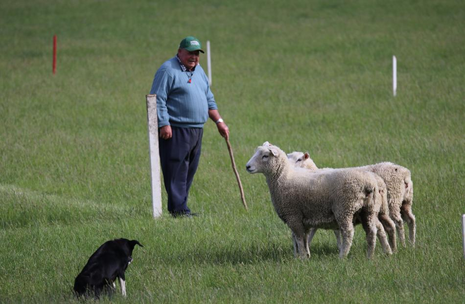 Oamaru's Angus Ferguson waits as Lady starts to turn the sheep up the hill in the Trans Tasman...