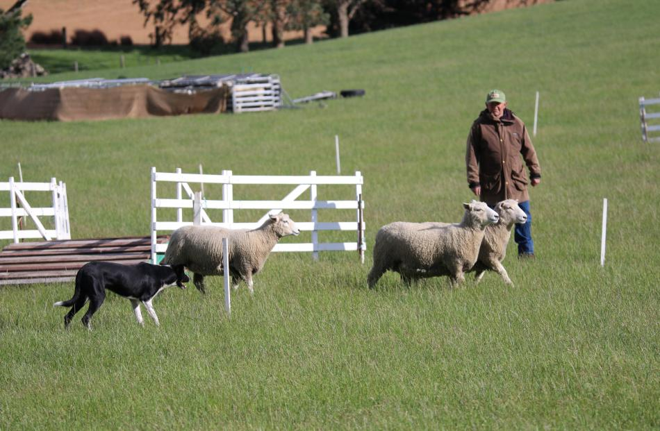 Lumsden's Roger Thompson and Don move the sheep away from the bridge in the Trans Tasman...