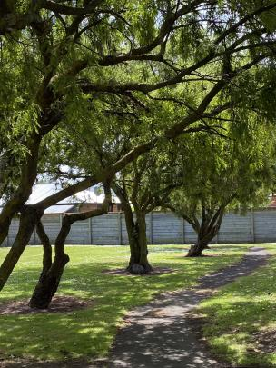 A row of very old kowhai trees lines a pathway at Mill Park, where a full-time groundsman keeps...