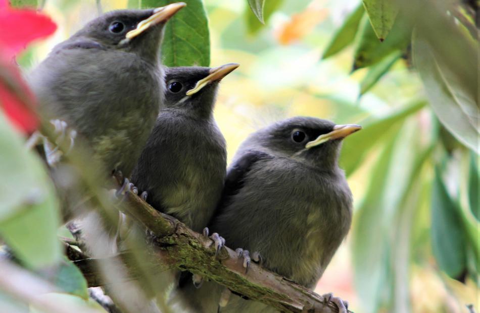 Bellbird triplets  ready  to fly the nest in Owaka.  PHOTO: DIANA NOONAN