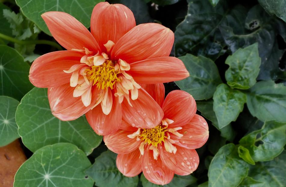 Dahlias keep blooming longer if dead flowers are removed.
