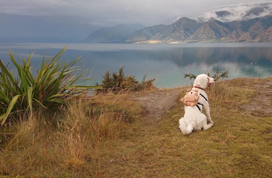 Checkers, wearing her new backpack, takes a breather by Lake Hawea on New Year's Day. PHOTO:...