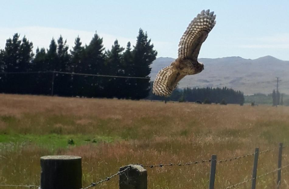 A little owl at a farm near Middlemarch. PHOTOS: BRAYDEN FOOTE