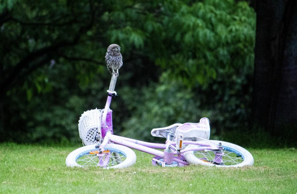 A little owl makes use of a children's bicycle at a property south of Oamaru. PHOTO: TRACEY...