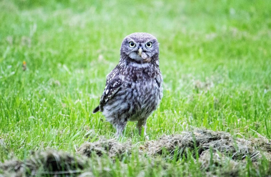 A little owl at a property south of Oamaru. PHOTO; TRACEY VICKERS PHOTOGRAPHY