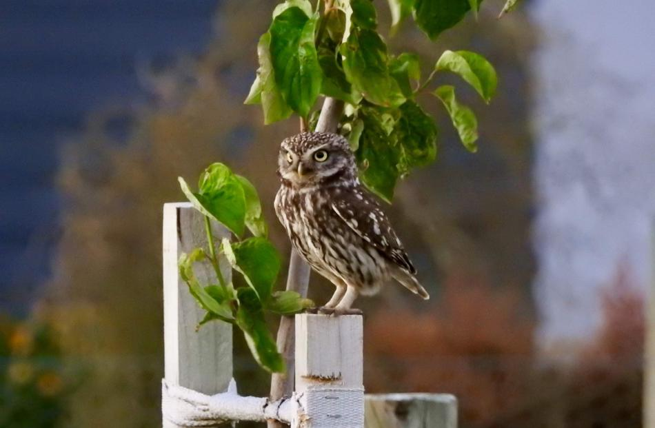 A little owl in Cromwell spotted by Otago Daily Times reader Leonie Robinson. PHOTO: LEONIE...