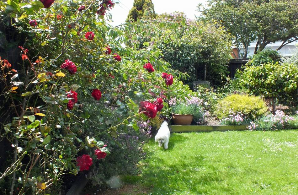 Climbing rose Dublin Bay was an appropriate gift to Bruce Hoskin, as he loved red. In the...