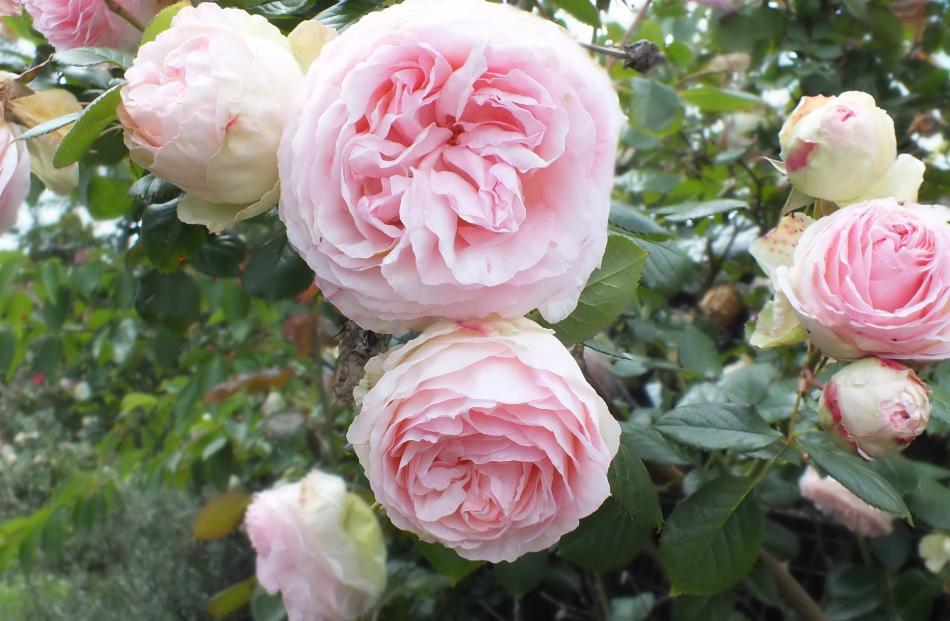 Fat flowers adorn a stunning climbing rose.
