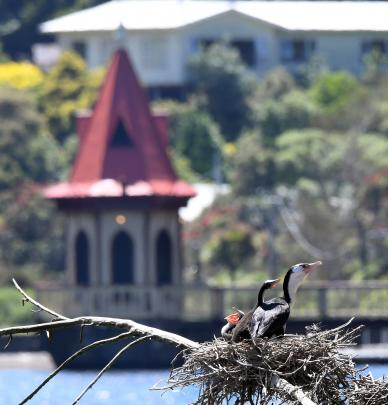 A pied shag with young on the lower dam with a view of the historic water tower ...