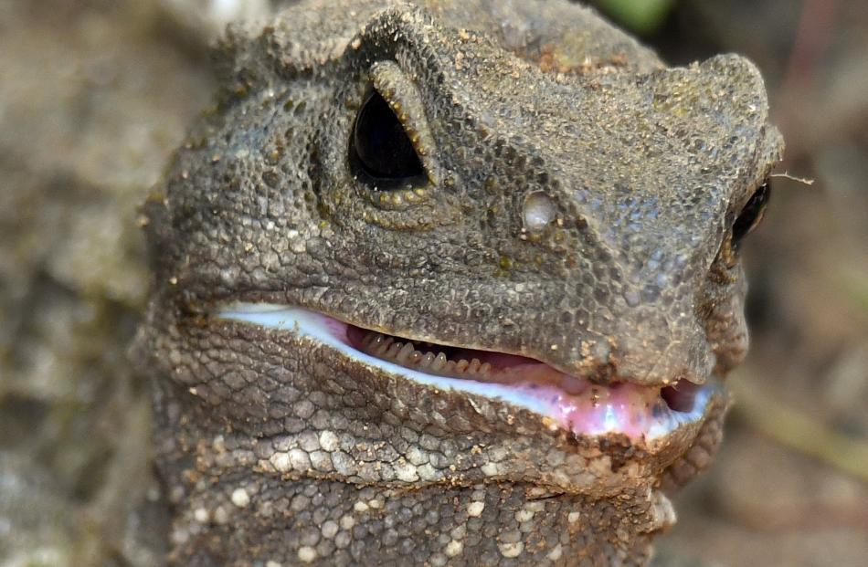 Zealandia was the first site to establish a wild population of tuatara on the mainland. ...