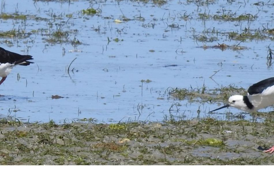Among the many birds which feed on the rich ecosystem of the Aramoana saltmarsh are pied oyster...