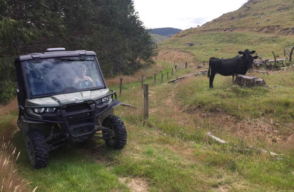 The Angus cattle at Lyndon and Gill McKenzie's eco-tourism venture, the Catlins Mohua Park.