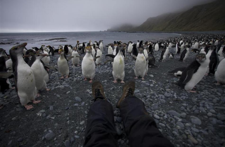 Claudia Babirat communes with the endemic Royal Penguins on her birthday at Sandy Bay.